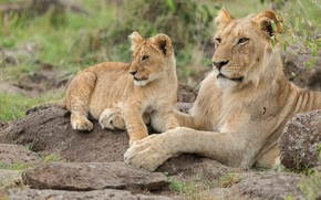 Picture stay, baby, pair, lions, lioness, mom, lion, two, lie