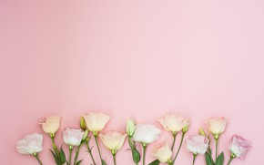 Picture flowers, background, pink, pink, flowers, eustoma, eustoma