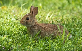 Picture grass, ears, Bunny
