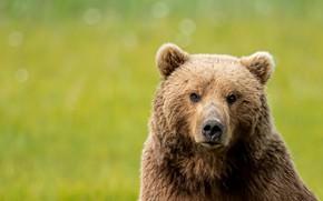 Picture look, face, portrait, bear, green background, bokeh, bear