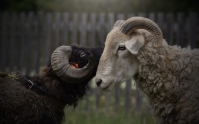Picture look, the dark background, the fence, portrait, pair, profile, RAM, lamb, two, muzzle, horns, lambs, …