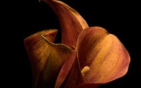 Picture flowers, background, Calla Lilly