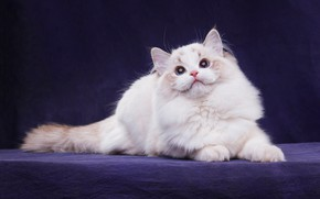 Wallpaper cat, white, cat, look, pose, the dark background, kitty, paws, fluffy, muzzle, tail, lies, color, ...