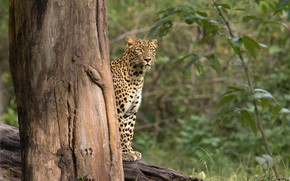Picture forest, leopard, the trunk of the tree, Rakesh Kumar Dogra