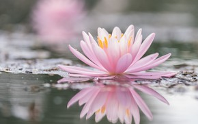 Picture pond, reflection, pink, Lily, pond, bokeh, Nymphaeum, water Lily