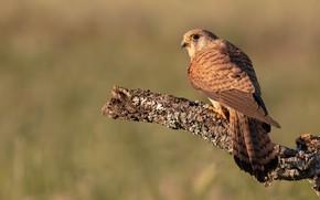 Picture nature, background, bird, branch, bark, Falcon, bitches, Kestrel