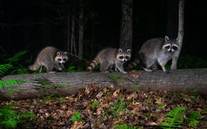Picture forest, night, darkness, foliage, raccoon, three, log, trio, raccoons