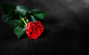 Picture background, rose, red