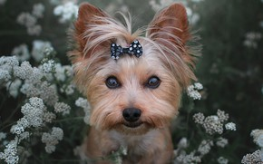 Picture look, flowers, face, dog, bow, Yorkshire Terrier, York