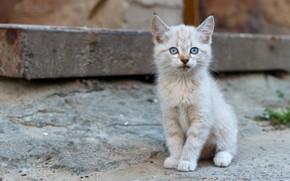 Picture white, kitten, blue eyes