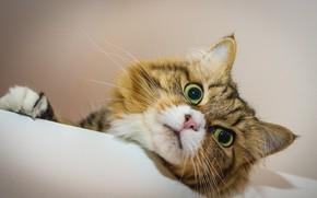 Picture cat, cat, look, muzzle, eyes, cat