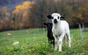 Picture autumn, forest, white, grass, look, trees, nature, Park, glade, black, sheep, lamb, sheep, a couple, …