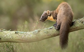 Picture look, nature, pose, background, tree, back, branch, muzzle, tail, bokeh, blurred, cute, marten