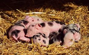 Picture light, comfort, sleep, hay, straw, pink, kids, company, sleep, lie, symbol of the year, pigs, …