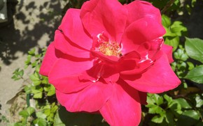 Picture Rose, Rose, Red rose, Red rose