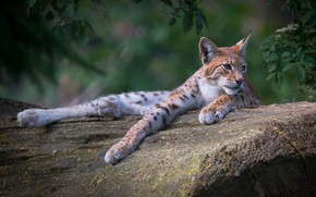 Picture look, face, leaves, nature, pose, background, tree, stay, lies, log, lynx, wild cat, zoo