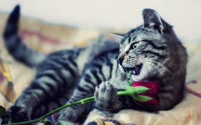 Picture cat, flower, cat, look, pose, kitty, grey, the game, rose, paw, bed, Bud, bed, lies, …