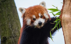 Picture nature, background, tree, portrait, animal, red Panda, leaves, face, red Panda, meal