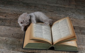 Picture cat, kitty, Board, book, British