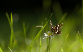 Picture macro, light, Daisy, flower, bokeh, insect, butterfly, summer, grass, Daisy, green background