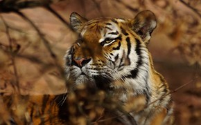 Picture look, face, leaves, light, branches, tiger, background, portrait, blur, bokeh