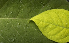 Picture leaves, water, drops, macro, sheet, green, Rosa, background, dark, leaf, plant, light, texture, contrast, veins, …