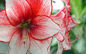 Picture flowers, Amarilis, white red