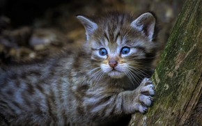 Picture cat, look, face, kitty, grey, background, tree, paw, baby, claws, kitty, cub, wild, blue-eyed, forest, …