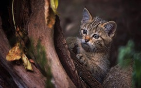 Wallpaper cat, look, face, leaves, nature, pose, the dark background, kitty, tree, legs, baby, trunk, bark, ...