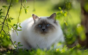 Picture greens, cat, cat, look, light, branches, nature, pose, spring, garden, muzzle, lies, bokeh, ragdoll
