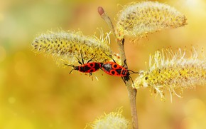 Picture macro, insects, branches, yellow, background, spring, bugs, red, a couple, kidney, two, Verba, soldiers, pairing, …