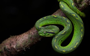 Picture look, pose, tree, snake, branch, scales, black background, green, reptile