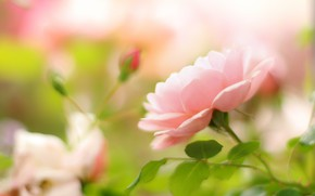 Picture pink, tenderness, rose