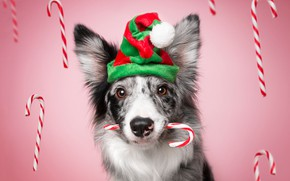 Picture look, face, strips, holiday, new year, portrait, Christmas, dog, sticks, candy, sweets, pink background, cap, …