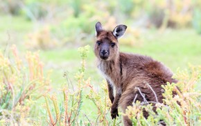 Picture look, face, nature, pose, kangaroo