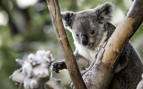 Picture tree, cute, Koala