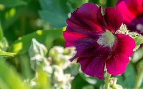 Picture flower, summer, leaves, light, red, bright, pollen, blur, petals, garden, al, bokeh, raspberry, mallow
