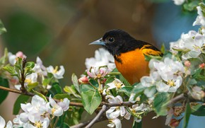 Picture bird, branch, spring, Apple, flowering, flowers, Baltimore Oriole