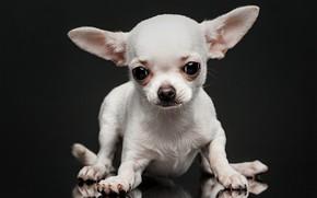 Picture white, look, dog, muzzle, ears, doggie, the dark background, Chihuahua, dog, Евгений Дёгтев