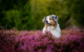 Picture dog, Heather, Aussie