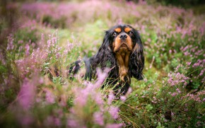 Picture summer, look, face, flowers, nature, thickets, glade, portrait, dog, pink, dog, brown, bushes, looking up, …