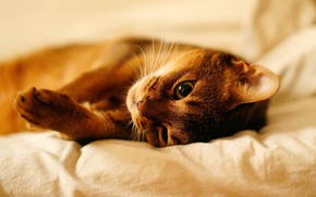 Picture cat, cat, look, face, pose, stay, paws, bed, lies, beauty, light background, sheets, Abyssinian