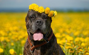 Picture language, look, face, flowers, dog, dandelions, wreath, bokeh, Cane Corso, Oksana Syrostan