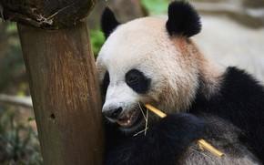 Picture look, face, tree, portrait, bear, Panda, meal