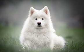 Picture grass, look, face, background, glade, portrait, dog, puppy, white, Samoyed