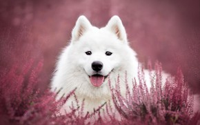 Picture language, look, face, flowers, nature, background, pink, glade, portrait, dog, puppy, white, pink, bokeh, Samoyed, …