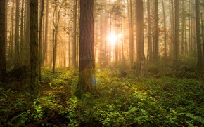 Picture forest, the sun, trees