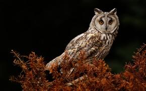 Wallpaper owl, owl, bird, needles, the dark background, look