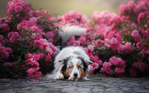 Picture flowers, roses, dog, Australian shepherd, Aussie, rose bushes