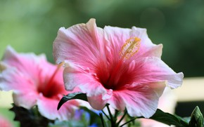 Picture flowers, bokeh, hibiscus
